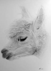 Bleistiftzeichnungen, Tierportraits, Alpaka, Bleistiftzeichnung, Tierzeichnungen, Tierzeichner