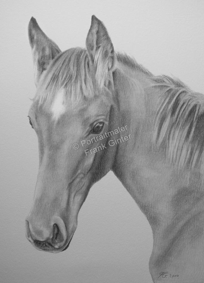 Bleistiftzeichnung Pferdeportrait, Pferdezeichnungen, Bleistiftzeichnung, Tierportraits mit Bleistift und Kohle